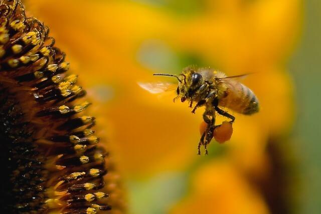 ビーポーレンとはハチミツの花粉