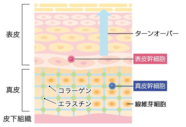 皮膚の幹細胞の種類は表皮幹細胞と真皮幹細胞